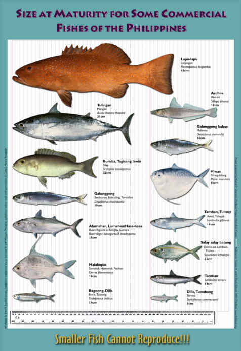 MATURITY SIZE CHART FOR SOME COMMERCIAL PHILLIPINE FISHES