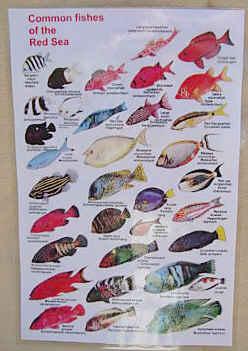 Red Sea fish identification chart - Waterproof