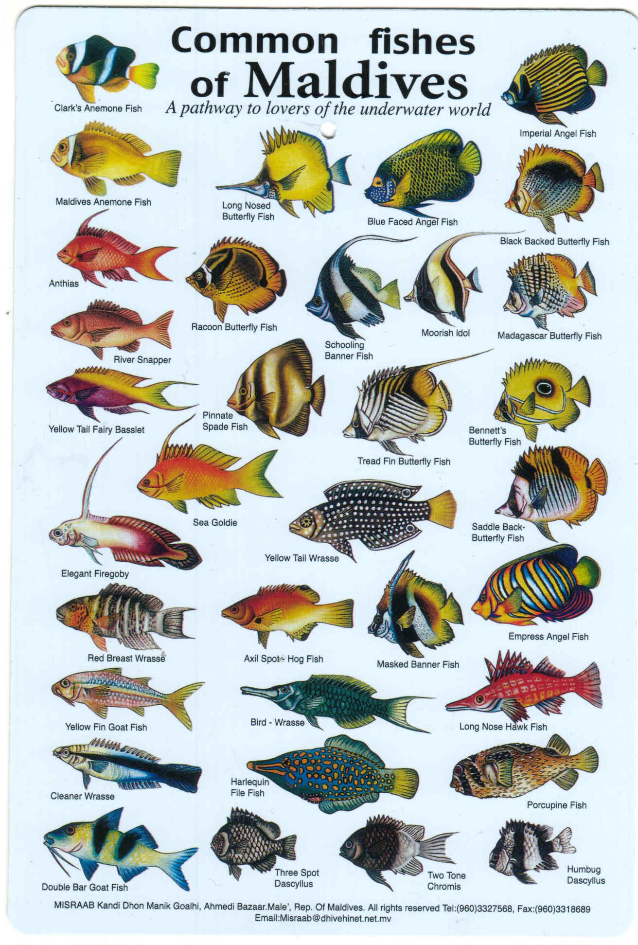 Fishes of the Maldives Identification Chart (water resistant double-sided-printed on card then laminated)