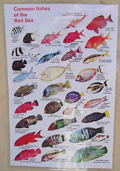 Weatherproof Laminated Field Sheet. RED SEA FISHES - An identification Guide